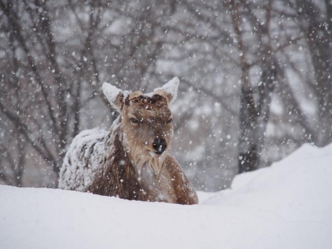 じっと我慢の蝦夷鹿