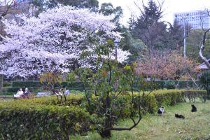 桜猫の集会(満開の桜と三匹の野良猫)