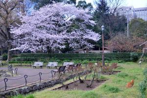 満開の桜、誰もいない公園のベンチ、草の上の茶トラ猫