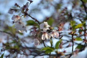 Sakura Blossoms Almost Gone