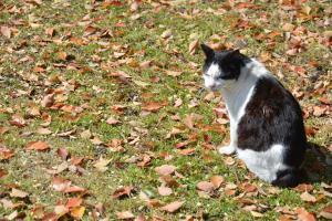 Cat & Fallen Kusunoki (Camphor Laurel) Leaves