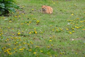 Cat Dandelions
