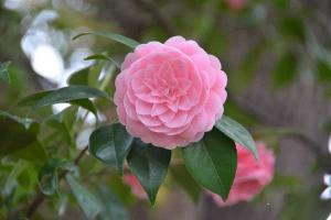 Pink Otome, Camellia japonica