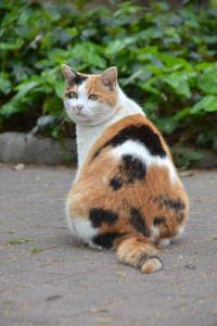 Calico Cat Looking Behind