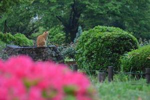 Cat on a Tree Stump, seen over Azaleas