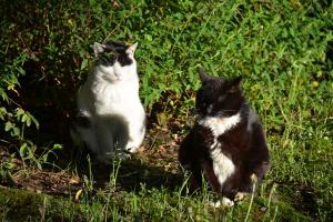 Two Black-and-White Cats