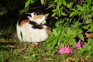 Sakura-chan The Cat & Rain Beaten Azaleas