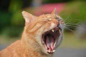 Ai-chan The Cat Yawing