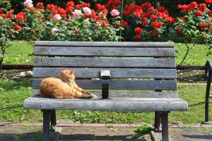 Cat on Rose Garden Bench