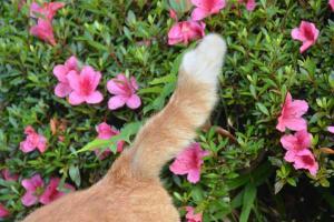 Cat's Tail & Azaleas