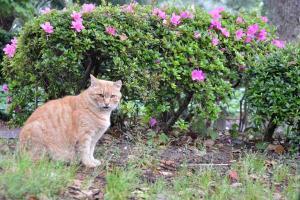 Chubby Cat & Azaleas