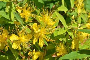 BiyoYanagi (Hypericum chinense)