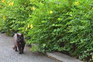 Cat & Kinshibai (Sungold St.John's Wort)
