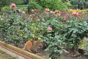 Ai-chan The Cat in Rose Garden