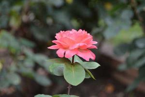 Rose - Pink Panther