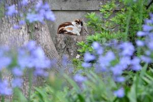 Cat Through Agapanthus (African Lily, Lily of the Nile)