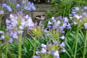 Cat Through Agapanthus (African Lily, Lily of the Nile