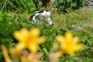 Cat & Hemerocallis (Daylilies)