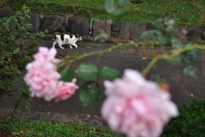 Sakura-chan The Cat & Roses