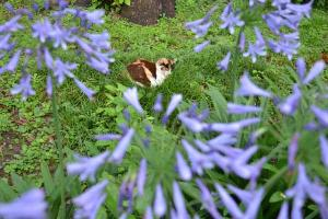 Cat & Agapanthus (African Lily, Lily of the Nile)