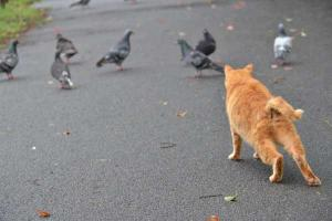Ai-chan The Cat - Hello Pigeons!