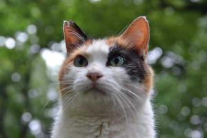 三毛猫さくらちゃん Sakura-chan The Cat
