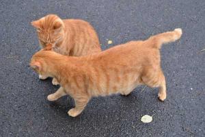 茶トラ猫 愛ちゃん Ai-chan The Cat & Brother