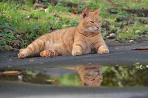 水たまり猫 Ai-chan The Cat Reflected In Rain Puddle