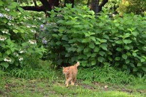 猫とアジサイ Ai-chan The Cat & Hydrangeas