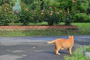 猫とバラ園 Ai-chan The Cat and Rose Garden