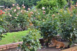 猫とバラ園 Ai-chan The Cat in Rose Garden