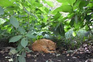 茶トラ猫 愛ちゃん Ai-chan The Cat Napping