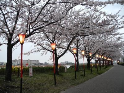 20130421やすらぎ堤桜2