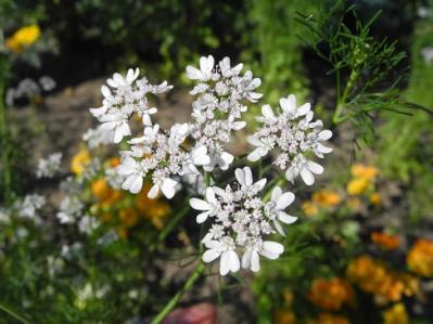 20130611パクチーの花