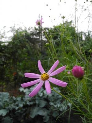 20130912コスモス一番咲き