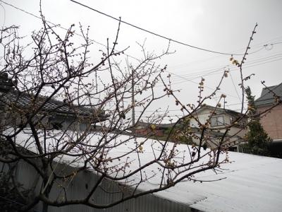 20140204ろう梅2月4日開花1