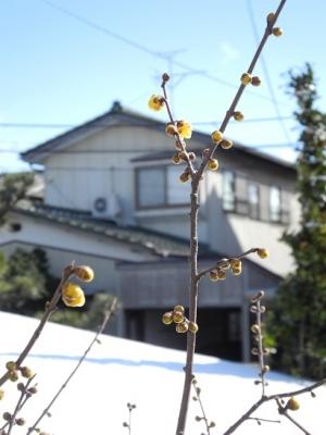 20140205ろう梅開花3