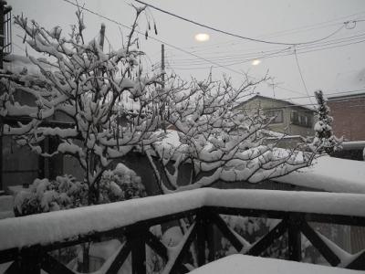 20140208雪に埋もれる藤とろう梅