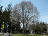 とてもきれいな樹形の「こぶし」