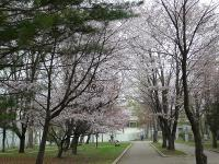 帯広の満開の桜