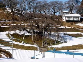 20130129三春滝桜(その2)