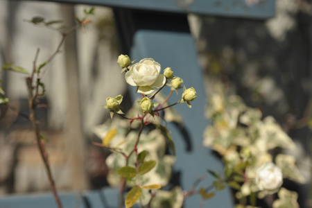 rose2014103-5.jpg