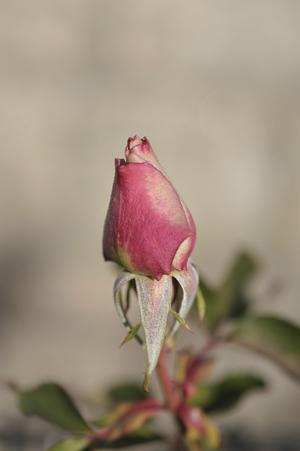 rose2014129-3.jpg