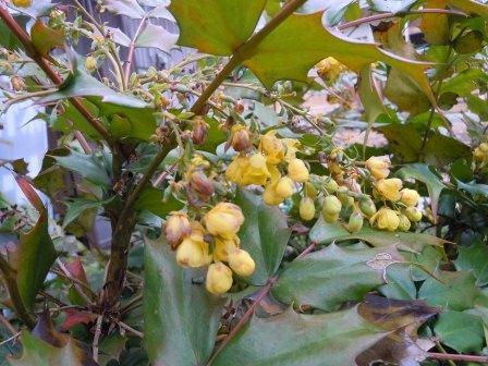 黄色の花(2013-03-24)
