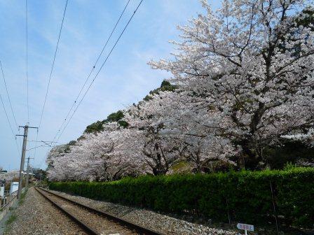 陶山神社の桜(2013-03-30)