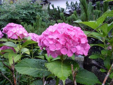 紫陽花1(2013-06-10)
