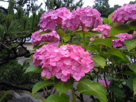 紫陽花4(2013-06-10)
