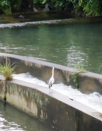 嬉野川の鷺5(2013-06-30)