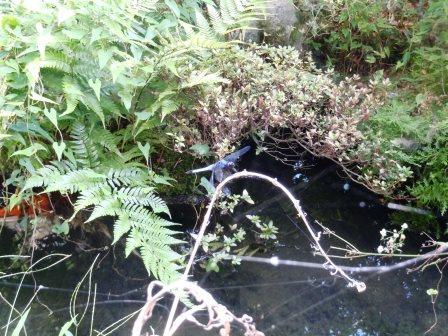 池のトンボ7(2013-08-03)