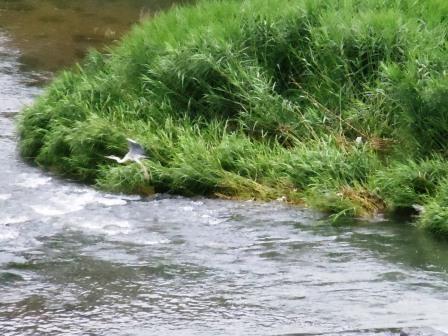 嬉野川の鷺1(2013-06-30)